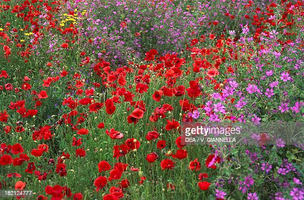 Field of flowers typical to the area near Guardia Piemontese Calabria Italy