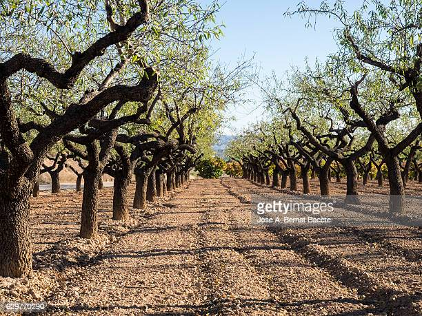 Field of fruit-bearing trees in lines in autumn, a sunny day with blue sky