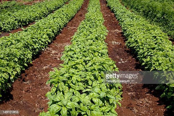 field of genovese (italian) basil - timothy hearsum stock-fotos und bilder