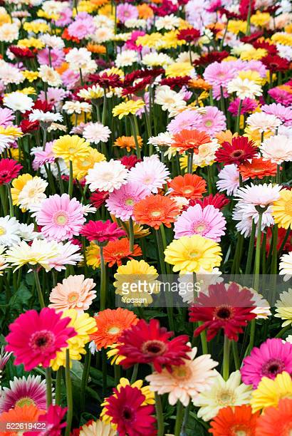 field of gerbera daisies - gerbera stock pictures, royalty-free photos & images
