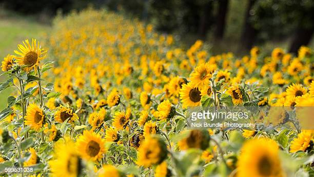 Field of giant yellow sunflowers in full bloom