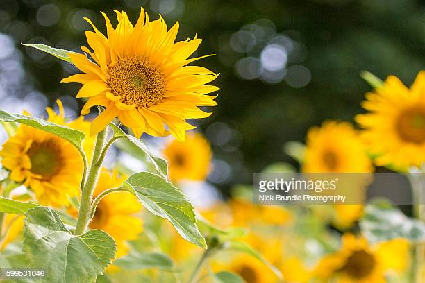 field of giant yellow sunflowers in full bloom - giant hogweed stock pictures, royalty-free photos & images