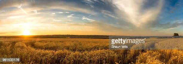 field of gold - trigo fotografías e imágenes de stock