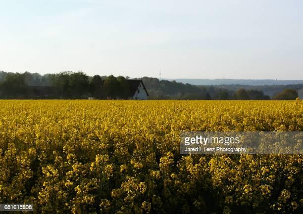 Field of Golden Flowers