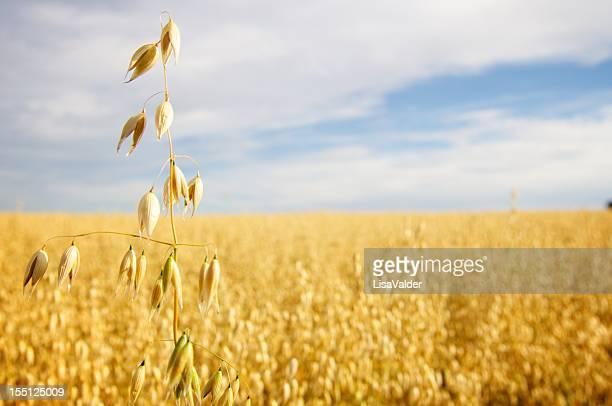 Golden campo de avena