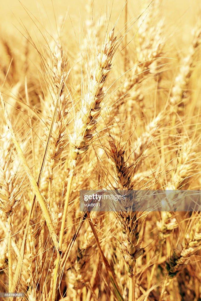 Field of golden wheat : Stock Photo