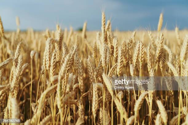 field of golden wheat - nutzpflanze stock-fotos und bilder