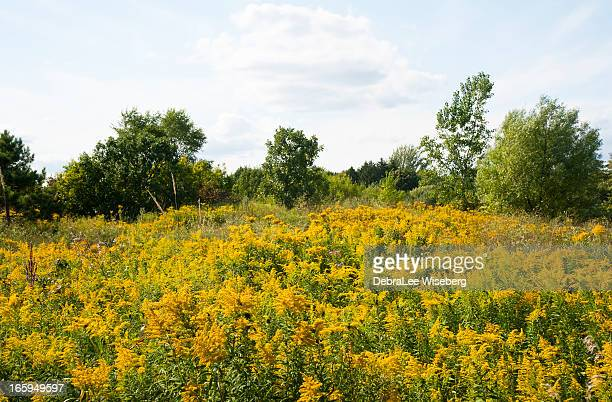 field of goldenrod - goldenrod stock pictures, royalty-free photos & images