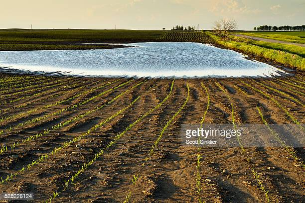 A field of grain corn is flooded from excessive spring rains in central Iowa; Iowa, United States of America
