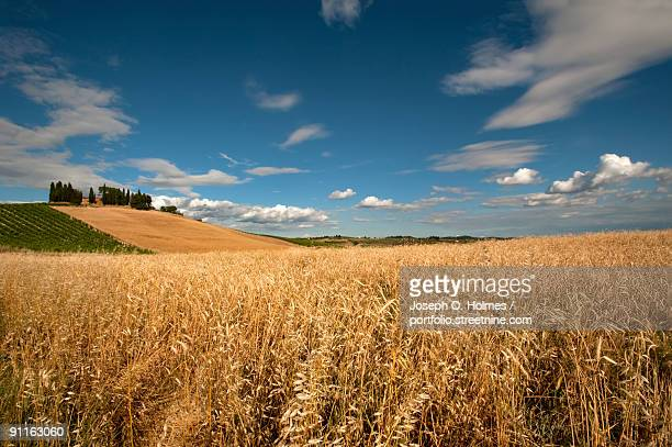 field of grain in tuscany - joseph o. holmes stock pictures, royalty-free photos & images