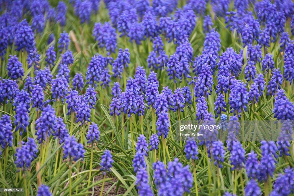 A field of grape hyacinths, Muscari : Stockfoto
