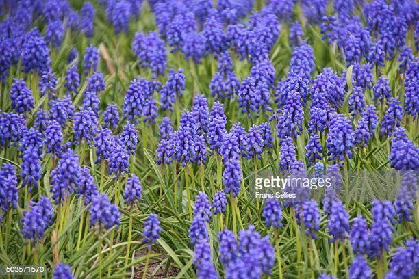a field of grape hyacinths, muscari - frans sellies stockfoto's en -beelden