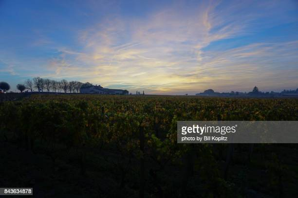 Field of grape vines in Bordeaux after sunset