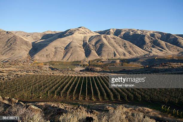 A field of grapes at a vineyard at the foot of dry mountains.
