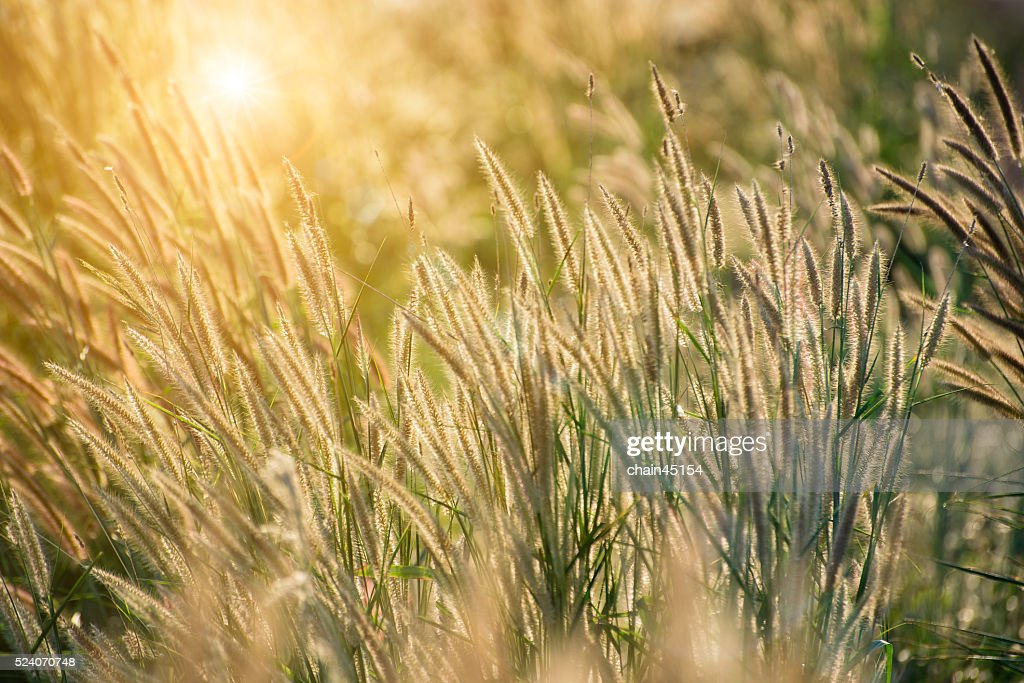 grass field background with flowers. Field Of Grass Flower Background With Sunset Light. : Stock Photo Flowers S