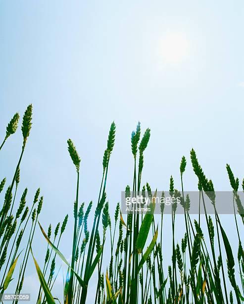 Field of grass in summertime