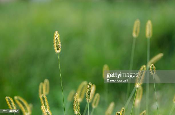 field of grass lit by the setting sun - massa stock pictures, royalty-free photos & images