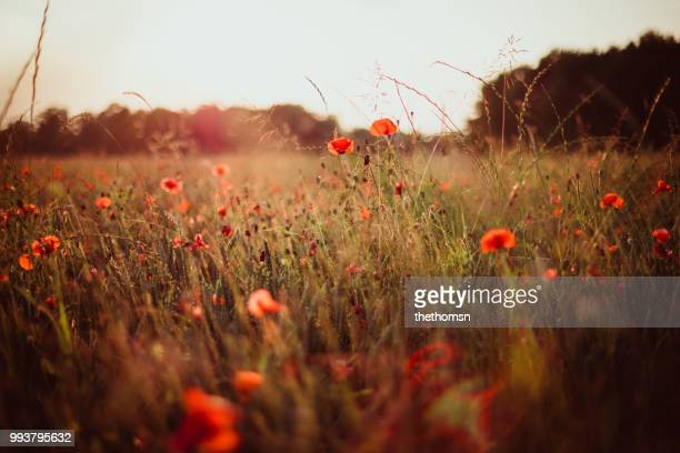 field of grass plants and poppies during sunset, germany - wiese stock-fotos und bilder