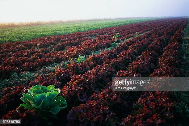 Field of Green and Red Leaf Lettuce Plants