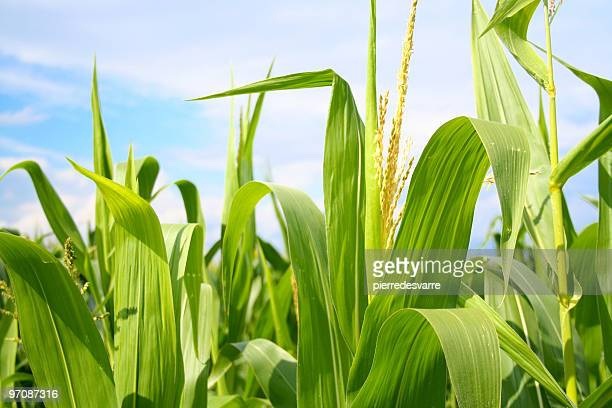 field of green corn during summer - corn stock pictures, royalty-free photos & images