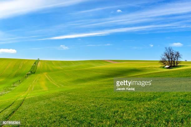 Field of green grain
