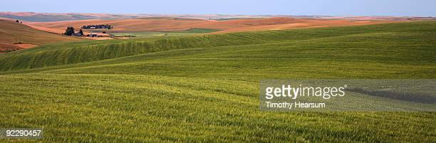 Field of green grain with contours beyond