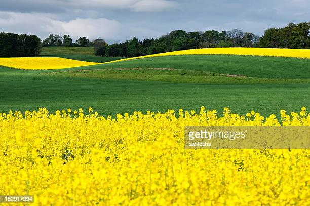 Field of green grass and yellow flowers