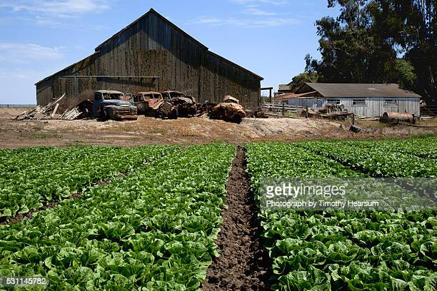 field of green lettuce heads with old farm trucks and barn in background - timothy hearsum fotografías e imágenes de stock