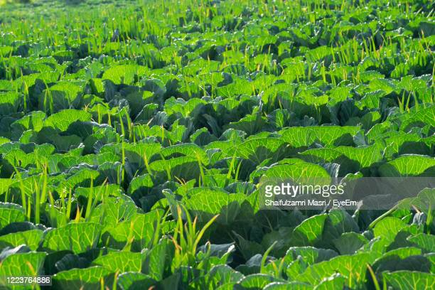 field of green organic vegetables garden in countryside of cemoro lawang, bromo, indonesia - shaifulzamri stock pictures, royalty-free photos & images