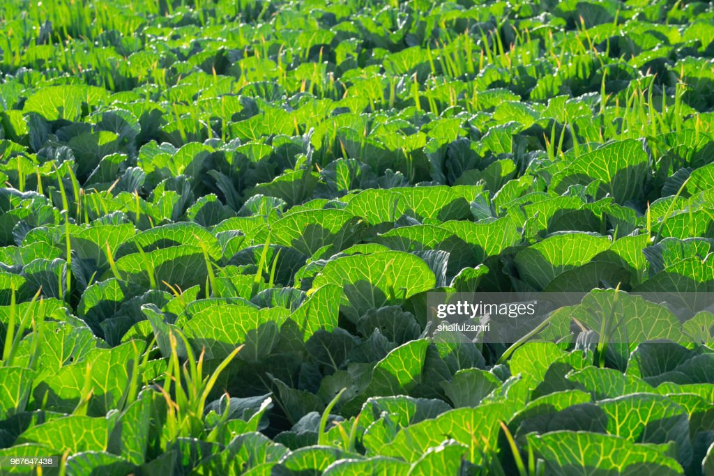 Field of green organic vegetables garden in countryside of Cemoro Lawang, Bromo, Indonesia : Stock Photo