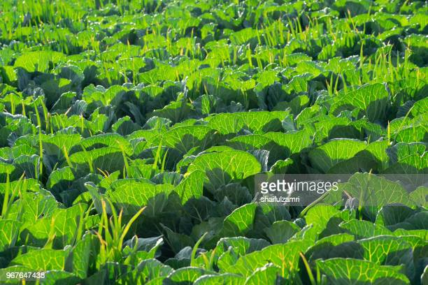 field of green organic vegetables garden in countryside of cemoro lawang, bromo, indonesia - shaifulzamri photos et images de collection