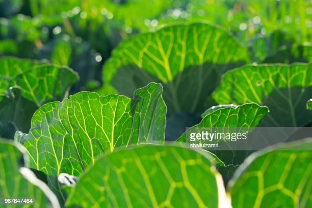 field of green organic vegetables garden in countryside of cemoro lawang, bromo, indonesia - shaifulzamri stock-fotos und bilder
