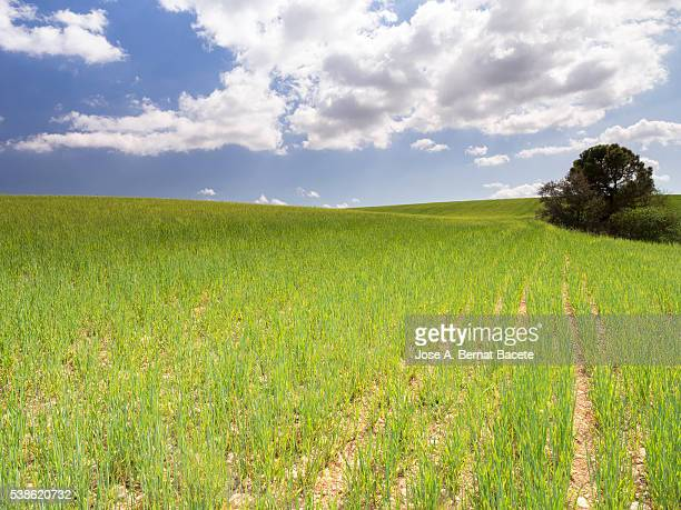 field of green wheat in growth with a luminous blue sky with clouds - unripe stock pictures, royalty-free photos & images