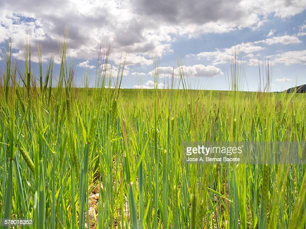 Field of green wheat in growth with a luminous blue sky with clouds
