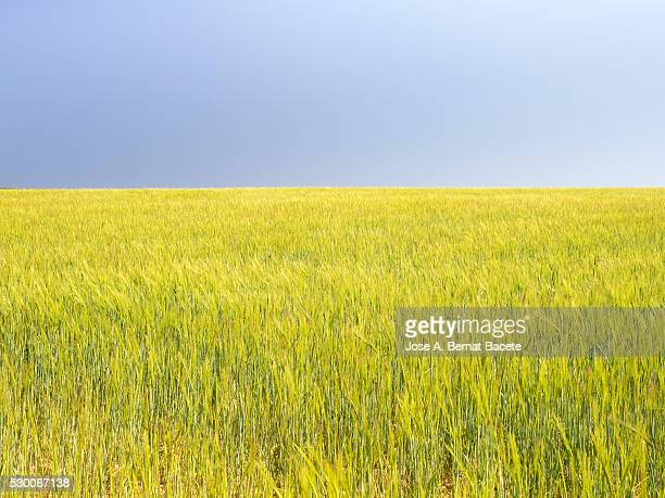 Field of green wheat in spring with a luminous blue sky.