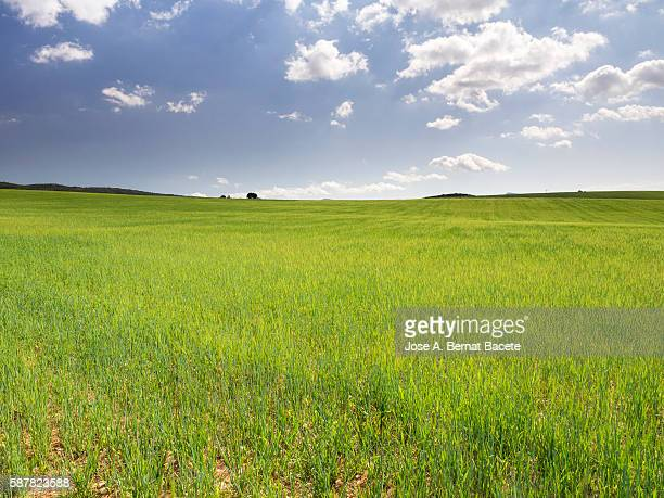field of green wheat in spring with a luminous blue sky. - lush stock pictures, royalty-free photos & images