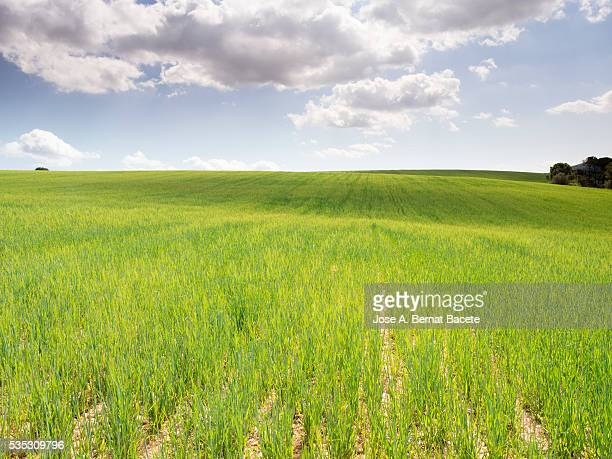 Field of green wheat in spring with a luminous blue sky with white clouds