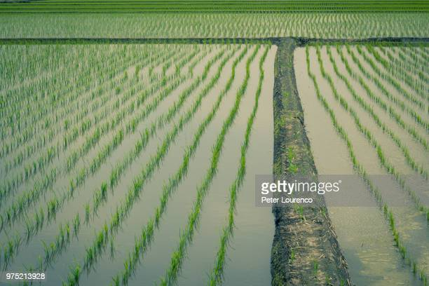 Field of growing rice