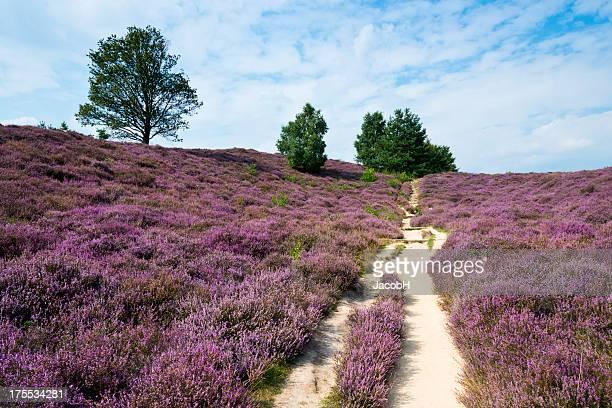 field of heather - nederland stockfoto's en -beelden