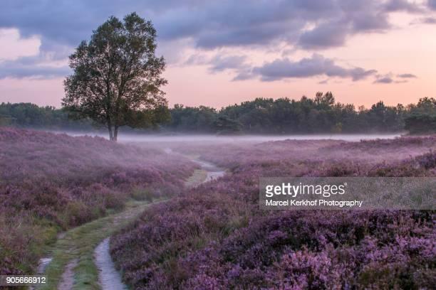 field of heather - solitair foto e immagini stock