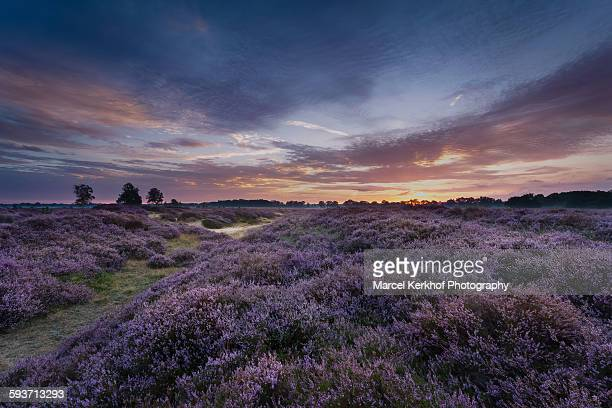 field of heather with gras - drenthe stock pictures, royalty-free photos & images