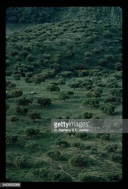 field of holm oak trees, spain - alamany fotografías e imágenes de stock