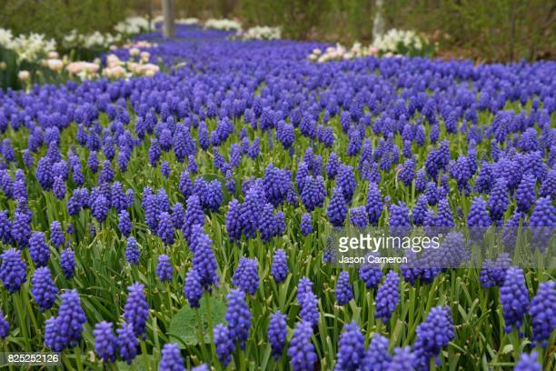 field of hyacinths - grape hyacinth stock pictures, royalty-free photos & images