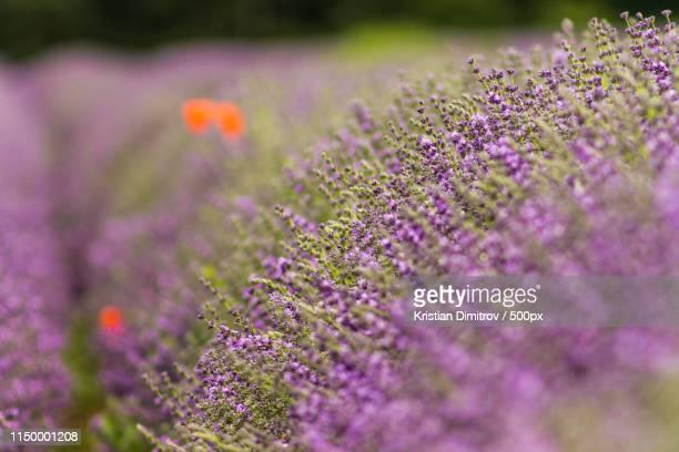 field of lavender - dimitrov - fotografias e filmes do acervo