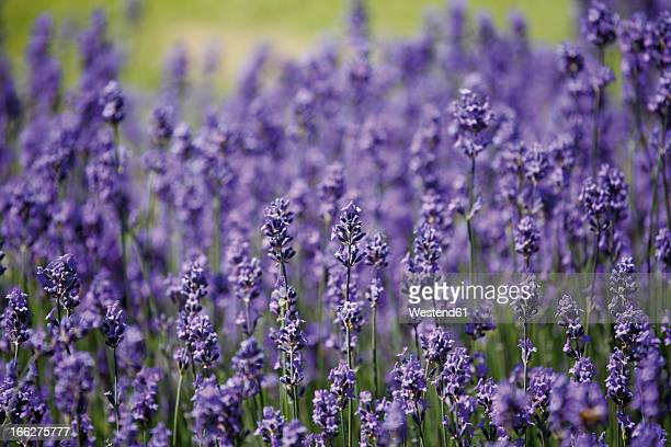 Germany, Field of lavender