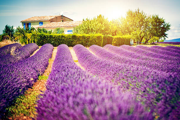 Field Of Lavender Wall Art