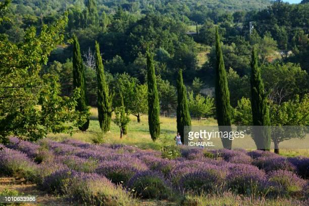 field of lavenders france - cipresso foto e immagini stock