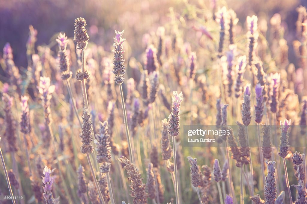 Field of lavenders glowing in the sunshine : ストックフォト
