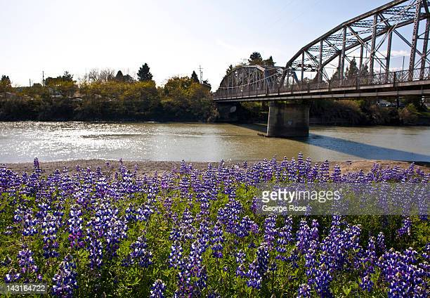 A field of lupine lines the banks of the Russian River near the Old Redwood Highway bridge on April 7 in Healdsburg California Despite a shortage of...