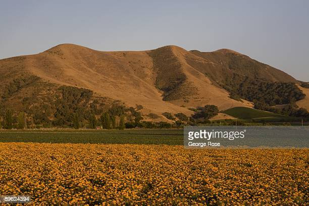 A field of marigold flowers take on an orange glow at sunset as seen in this 2009 Buellton Santa Barbara County California late afternoon landscape...
